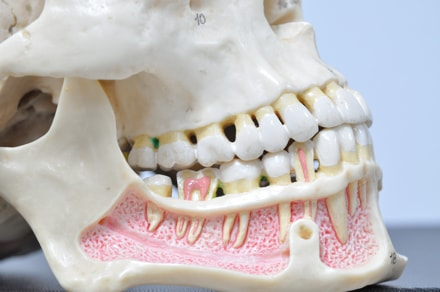 фото макета нижней челюсти