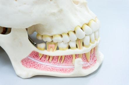 фото строения человеческой челюсти